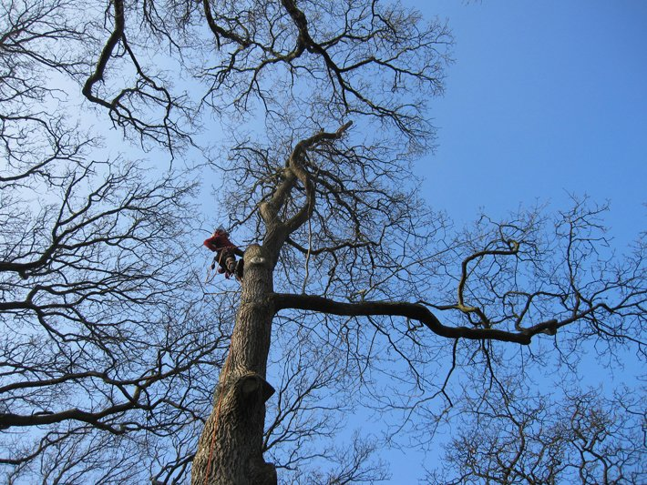 Stoke Newington tree surgeon up an oak