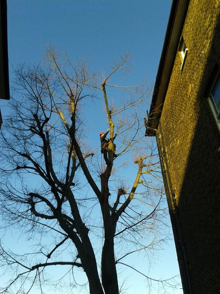 Hampstead tree surgeon cleaning the crown of a lime tree