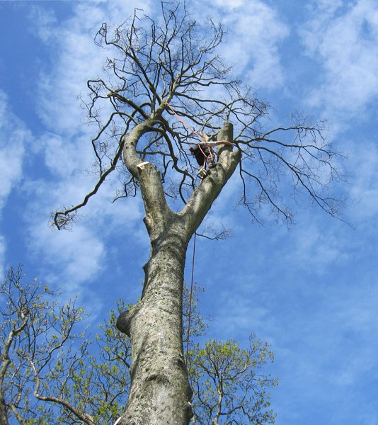 Tree surgeon Hackney dismantling a big tree