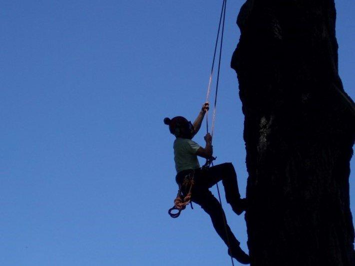 Haringey tree surgeon climbing a big pine