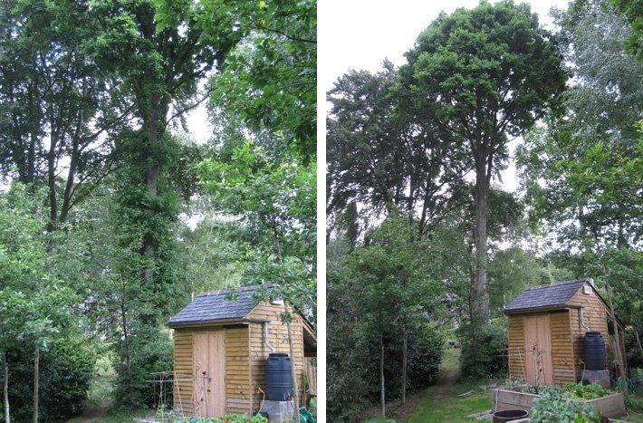 American_oak_before_and_after_crown_clean