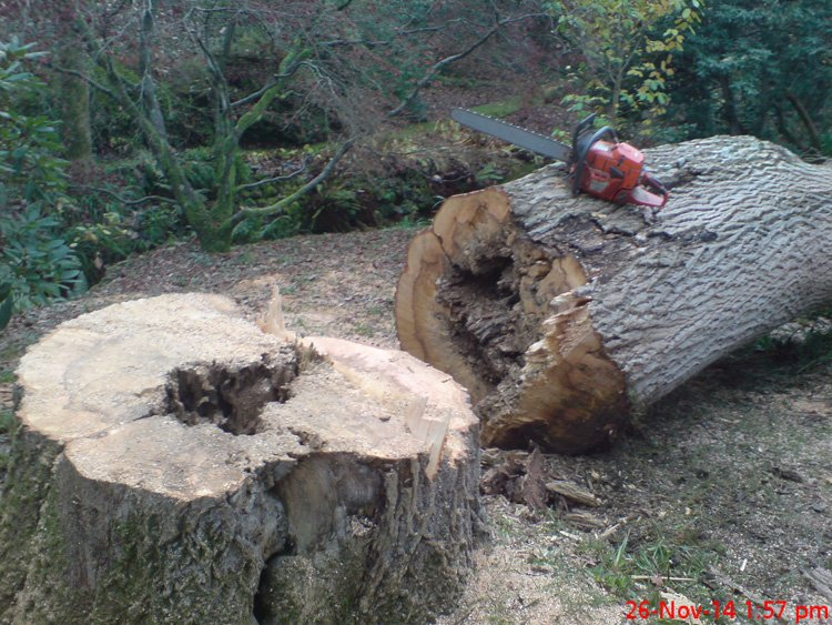 Hollow ash trunk for tree removal