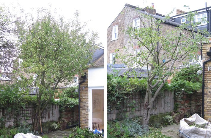 Apple tree before and after reduction