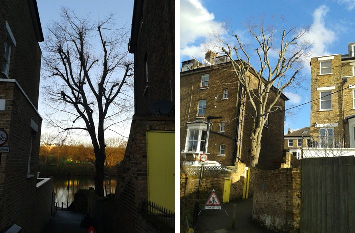 North London tree surgery: lime tree before and after crown clean