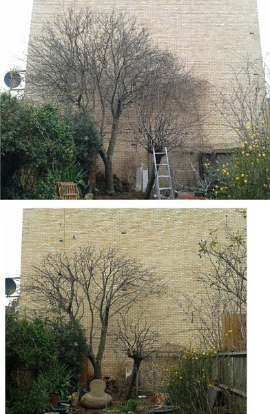 Pruning trees: Before and after photos of apple tree and pear tree