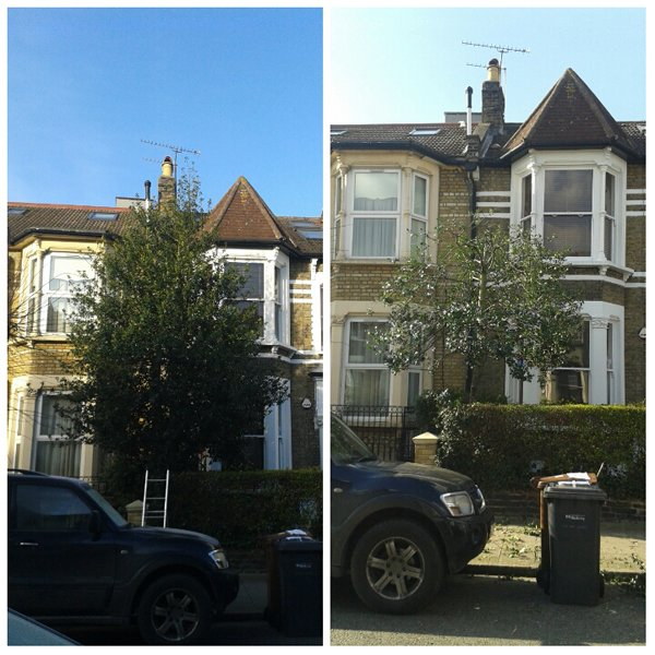 Pruning trees: a holly tree before and after reduction and thin by north London tree surgeons