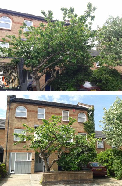 Photos of a cherry tree before and after our reduction by thinning