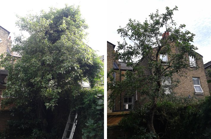 Photos showing an apple tree before and after removal of a climbing plant