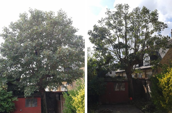 Before and after photos of a sycamore showing thinning the canopy
