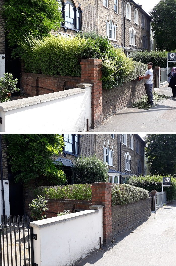 Reducing a privet hedge and trimming a holly hedge