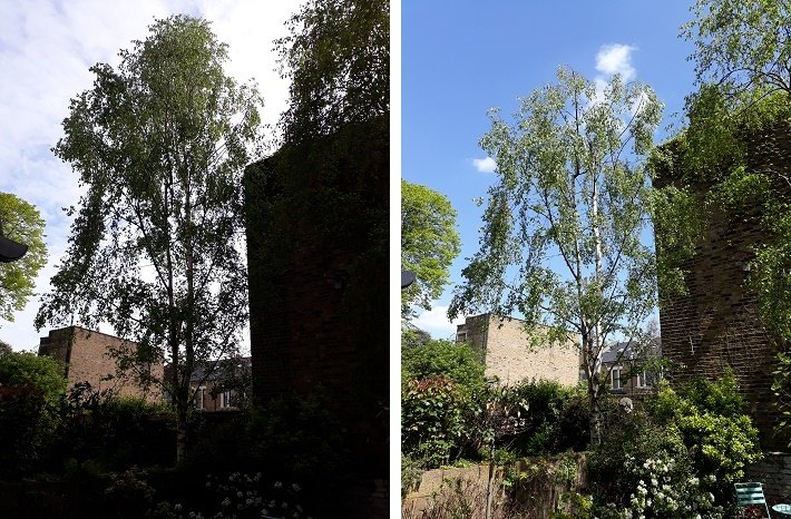 Reducing a silver birch tree