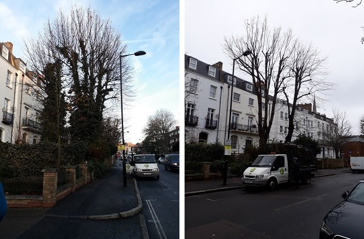 Trees before and after removing ivy