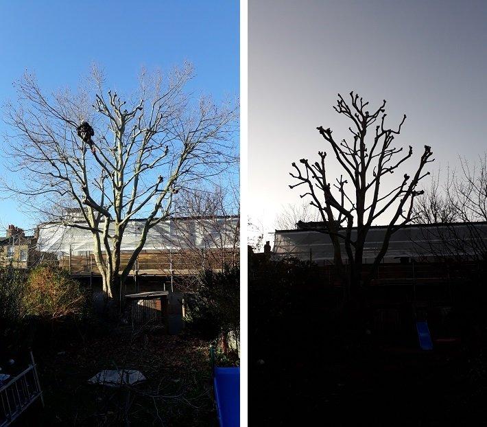 Reducing a London plane tree
