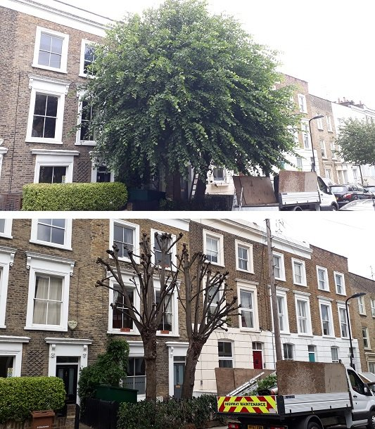 Lime trees before and after re-pollarding
