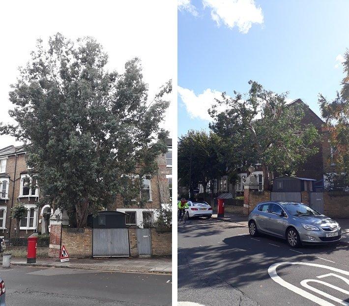 Reducing a Eucalyptus tree